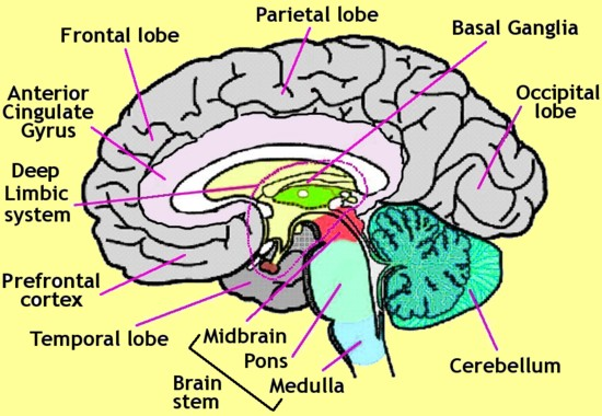 diagram of the human brain parts 7 : Biological Science ...