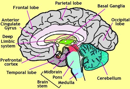 Diagram Of The Human Brain Parts 7 7 Diagram Of The Human Brain