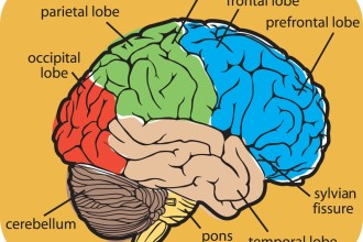 Diagram Of The Human Brain Parts 8 , 7 Diagram Of The Human Brain In Brain Category