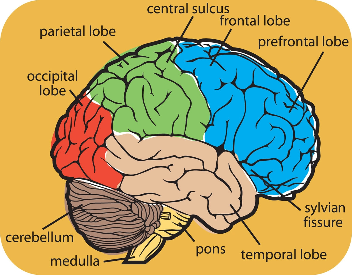 diagram of the human brain parts 8 : Biological Science ...