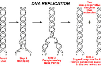 Dna Replication Begins , 5 Outline Of Dna Replication In Cell Category