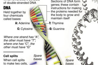 dna structure worksheet in Mammalia