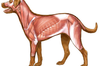Dog Canine Muscles Image Illustration , 4 Canine Anatomy Muscles Pictures In Muscles Category