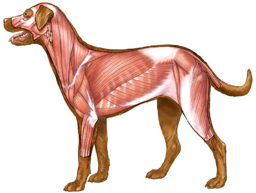 Dog Canine Muscles Image Illustration : 4 Canine Anatomy Muscles ...