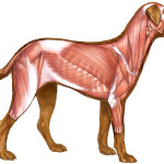 dog muscles , 4 Canine Anatomy Muscles Pictures In Muscles Category