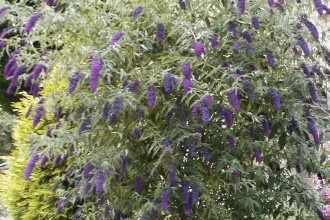 Empire Blue Butterfly Bush Plant , 6 Empire Blue Butterfly Bush Pictures In Plants Category