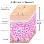 epidermis structure diagrams , 7 Skin Structure Anatomy Diagrams In Cell Category