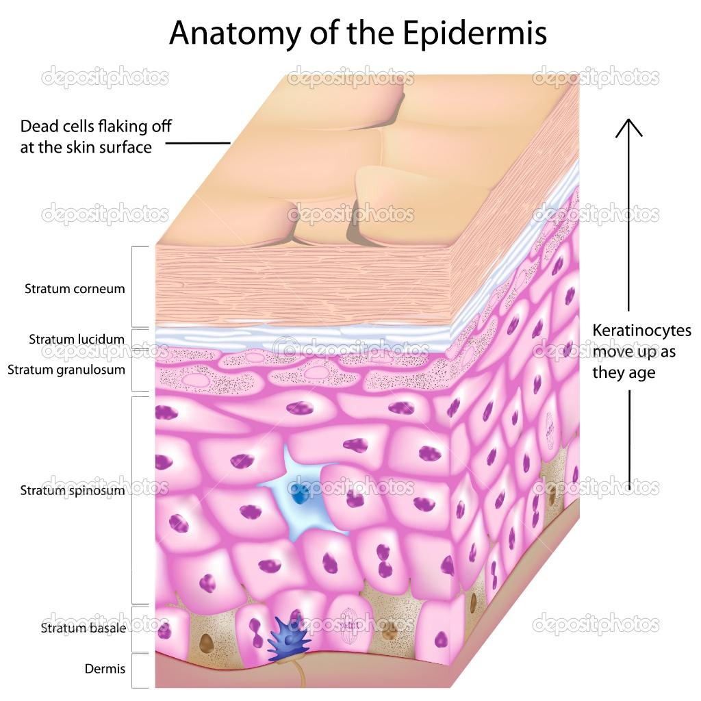 Epidermis Structure Diagrams : 7 Skin Structure Anatomy Diagrams ...