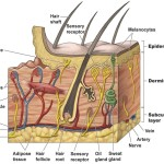 epidermis structure systems , 7 Skin Structure Anatomy Diagrams In Cell Category