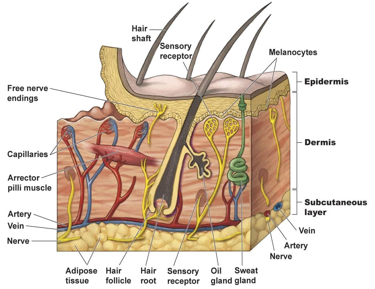 Skin diagram anatomy