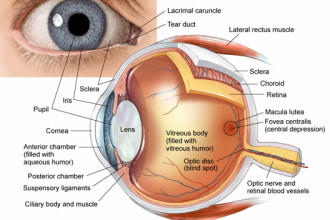 eye anatomy drawing sketch in Mammalia