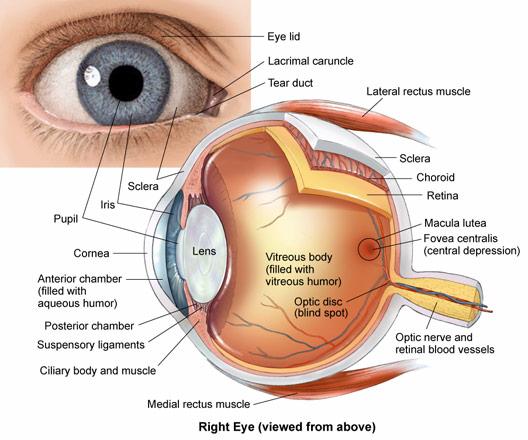 Organ , 6 Human Eyes Anatomy Worksheet : Eye Anatomy Drawing Sketch