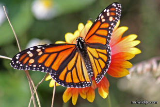 Facts About Monarch Butterfly , 6 Monarch Butterflies In Butterfly Category