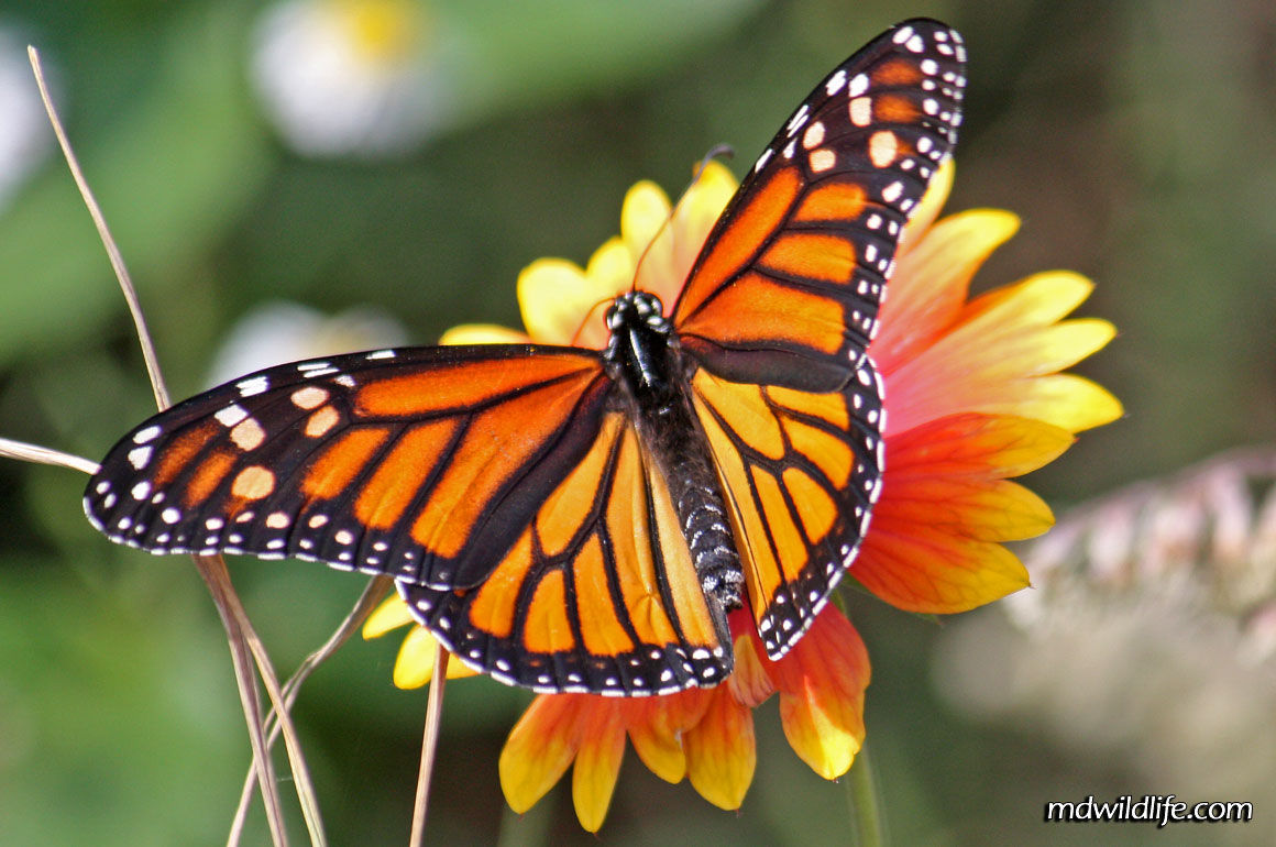 Facts About Monarch Butterfly : 6 Monarch Butterflies | Biological ...