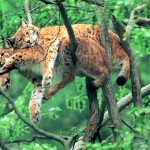felis tropical rainforest , 6 Kind Of Animals In The Tropical Rainforest In Animal Category