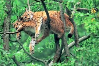 Felis Tropical Rainforest , 6 Kind Of Animals In The Tropical Rainforest In Animal Category