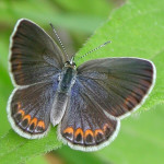 female Karner blue butterfly , 6 Blue Karner Butterfly Pictures In Butterfly Category