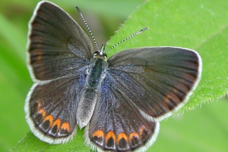 female Karner blue butterfly in Cat
