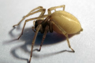 female Yellow sac spider in Dog