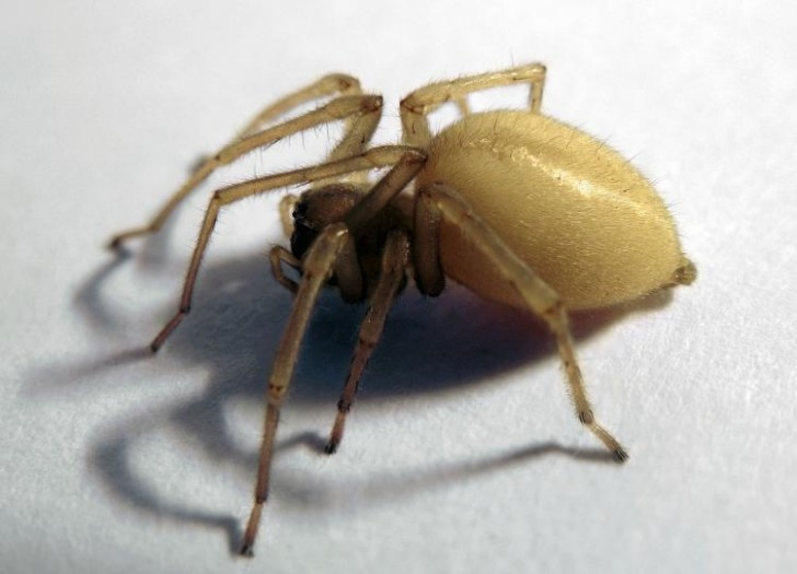 Spider , 8 Yellow Sac Spider Pictures : Female Yellow Sac Spider