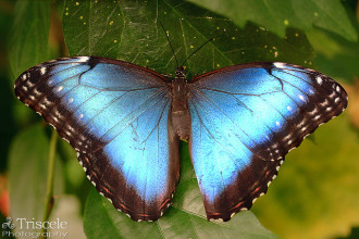 female blue morpho butterfly pic 1 in Cat