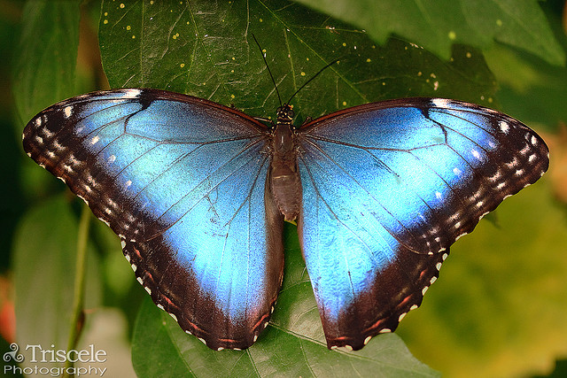 female blue morpho butterfly pic 1