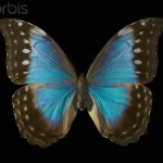female blue morpho butterfly pic 2 , Female Blue Morpho Butterfly Pictures In Butterfly Category