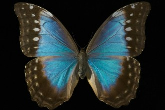 female blue morpho butterfly pic 2 in Plants