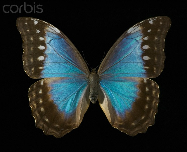 Butterfly , Female Blue Morpho Butterfly Pictures : Female Blue Morpho Butterfly Pic 2