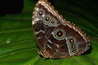 Female Blue Morpho Butterfly Pic 4 , Female Blue Morpho Butterfly Pictures In Butterfly Category