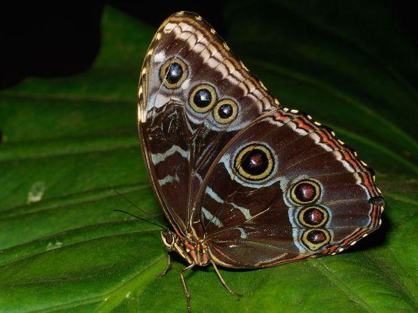 Butterfly , Female Blue Morpho Butterfly Pictures : Female Blue Morpho Butterfly Pic 4