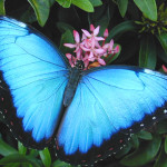 female blue morpho butterfly pic 5 , Female Blue Morpho Butterfly Pictures In Butterfly Category