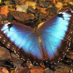 female blue morpho butterfly pic 6 , Female Blue Morpho Butterfly Pictures In Butterfly Category