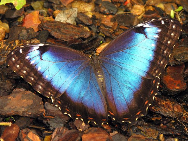 Butterfly , Female Blue Morpho Butterfly Pictures : Female Blue Morpho Butterfly Pic 6