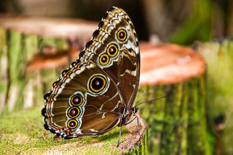 Female Blue Morpho Butterfly Pic 7 , Female Blue Morpho Butterfly Pictures In Butterfly Category