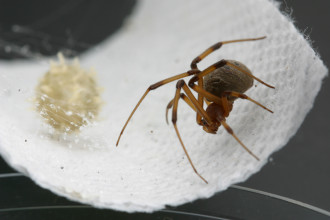 Female Brown Widow Spider With Egg , 9 Brown Spider Egg Photos In Spider Category
