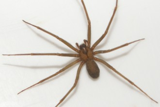 Fiddleback Spider , 8 Brown Reclus Spider Photos In Spider Category