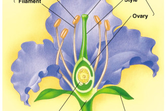 flower structure in Muscles