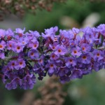 flowering bush plants , 6 Empire Blue Butterfly Bush Pictures In Plants Category