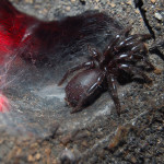 funnel web spider , 6 Sydney Funnel web Spiders In Spider Category