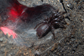 Funnel Web Spider , 6 Sydney Funnel-web Spiders In Spider Category
