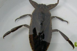 giant water bug in Dog
