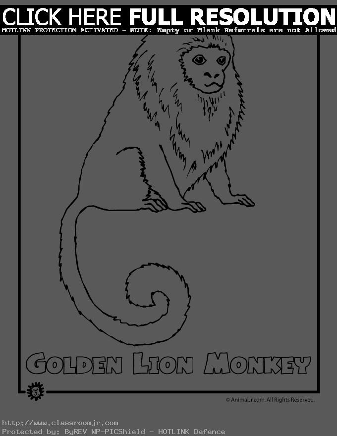 Animal , 7 Rainforest Animals Coloring Pages : Golden Lion Monkey Coloring Pages