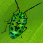 green beetle bug , 7 Green Beetle Bug In Beetles Category