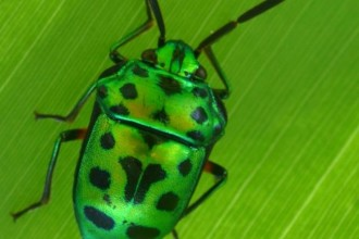 green beetle bug in Human