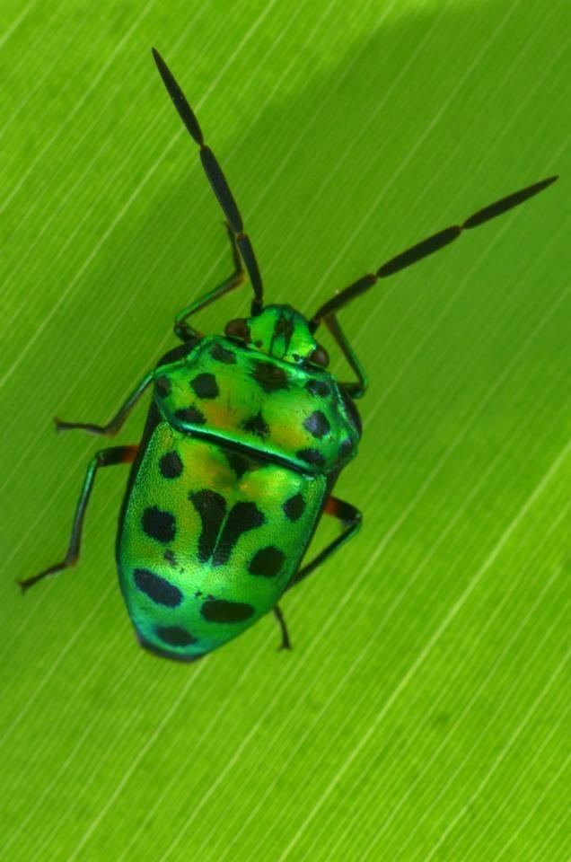 Beetles , 7 Green Beetle Bug : Green Beetle Bug