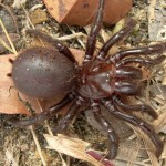 habitat of funnel web spider , 6 Sydney Funnel web Spiders In Spider Category