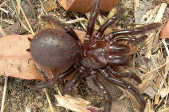 Habitat Of Funnel Web Spider , 6 Sydney Funnel-web Spiders In Spider Category