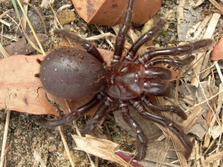 Spider , 6 Sydney Funnel-web Spiders : Habitat Of Funnel Web Spider