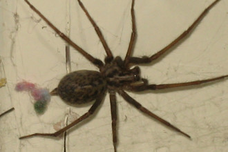 House Spider , 10 Brown House Spider In Spider Category
